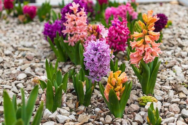 Blanc rose et violet jacinthe, ou hyacinthus, fleurs en pleine floraison horizontale