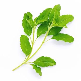 Blanchir des feuilles de basilic sacré frais isoler sur fond blanc.