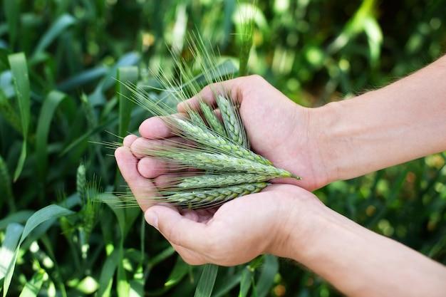 Blé dans les mains. agriculteur avec du blé dans les mains. épis de blé dans les mains de l'agriculteur se bouchent. plante, nature, seigle. cultures à la ferme. tige avec des graines pour le pain aux céréales. croissance de la récolte agricole. épillet de gros plan