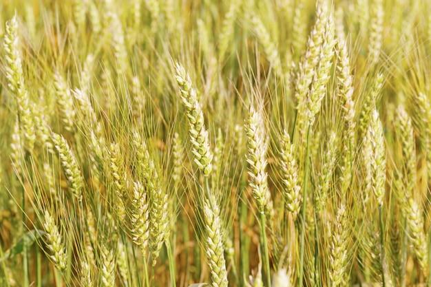 Blé doré sur champ dans les rayons du soleil. soleil et épis de blé. concept de récolte riche.