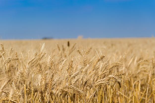 Le blé doré sous le soleil dans les champs
