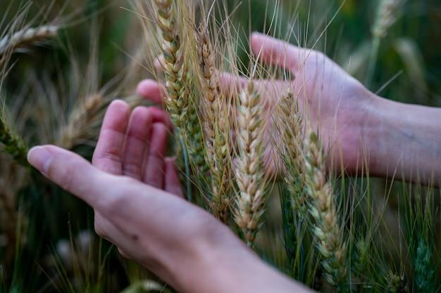 Blé mûr dans les mains de l'agriculteur sur les champs de blé. les mains des agriculteurs touchant le champ de blé, la récolte.