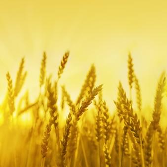 Blé mûr d'or sur le champ dans les rayons du coucher du soleil. soleil et épis de blé. concept de récolte riche.