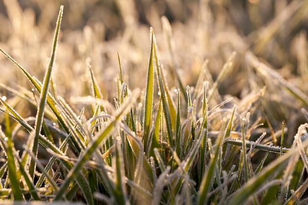 Blé planté pour l'hiver recouvert de cristaux de glace et de gel pendant les gelées hivernales