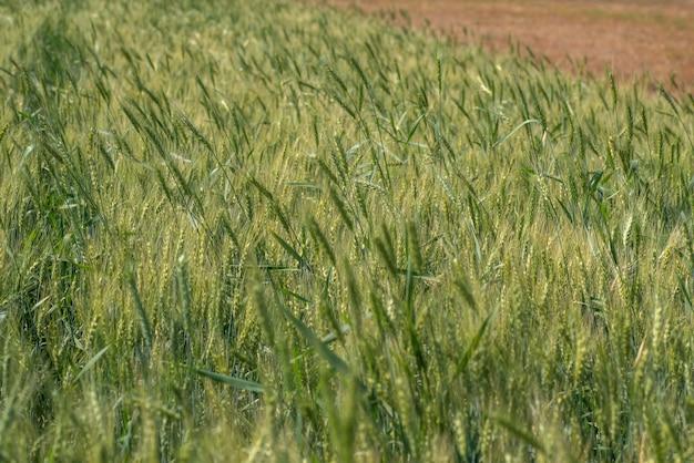 Blé vert au champ de la ferme biologique