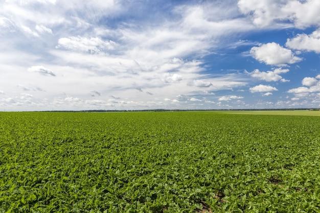 Blé vert ou autre grain sur les terres agricoles l'agriculture pour la production de cultures et le profit