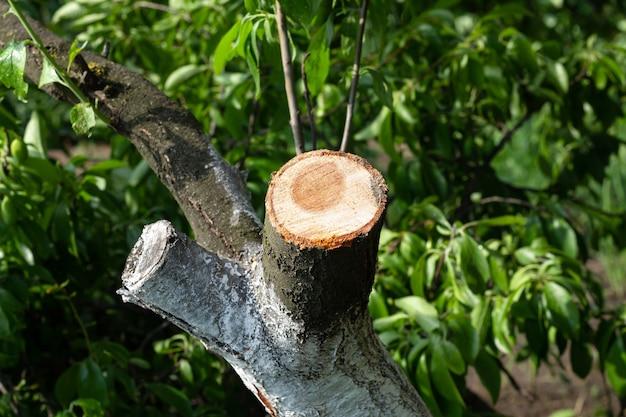 Blessure du tronc d'arbre fruitier branche sciée. taille sanitaire saisonnière et rajeunissement des arbres du verger