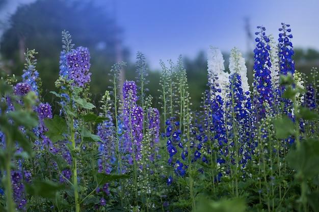 Le bleu delphinium pousse dans le jardin. fleur bleu delphinium double. aube bleue delphinium