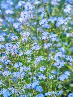Le bleu ne m'oublie pas les fleurs s'épanouissent.