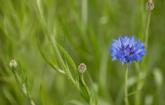 Bleuet bleu sur un champ vert