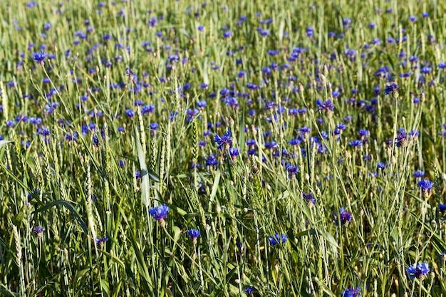 Bleuets bleus dans le domaine avec des céréales.