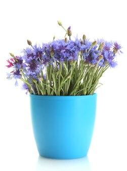 Bleuets en pot de fleurs isolé sur blanc