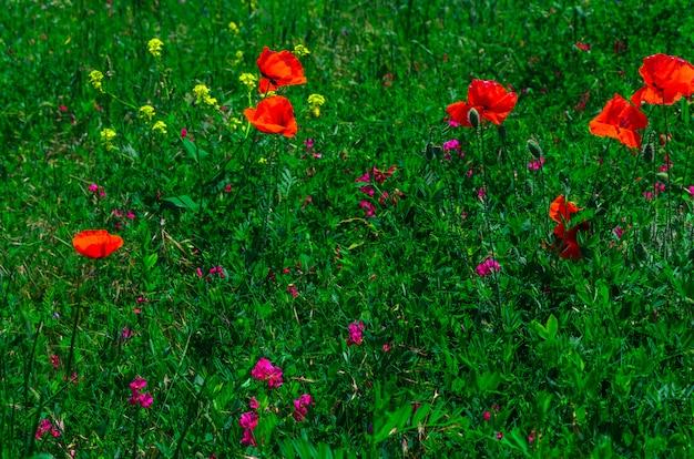Bloom fleurs de pavot rouge sauvage avec un joli flou bokeh dans le fond de l'herbe verte