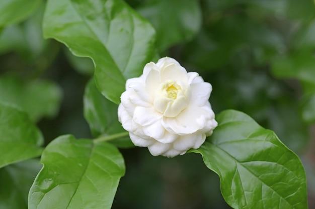 Bloom jasmin empilé fleur.