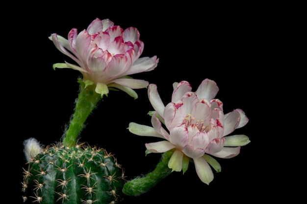 Blooming cactus flowers lobivia hybride couleur blanche