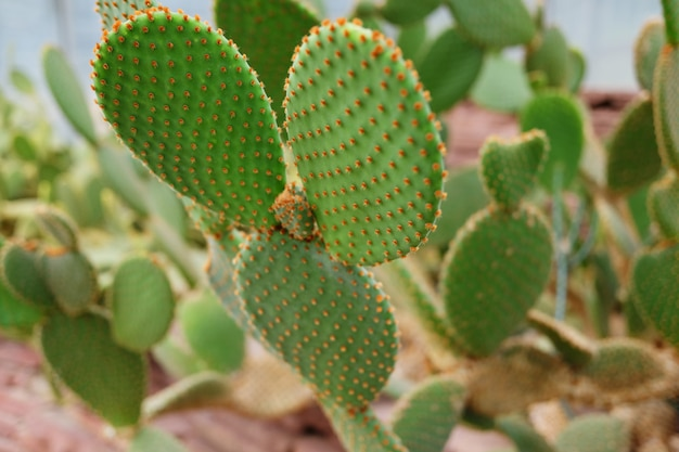 Blooming cactus plants in desert park