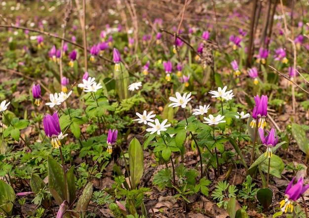 Blooming nemorosa ou thimbleweeds. fleurs de printemps dans la lumière du soleil anemone nemorosa
