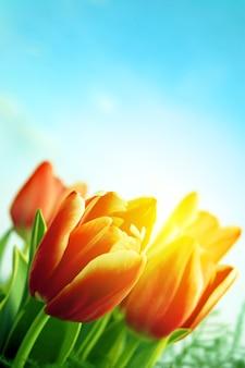 Blooming tulipes extérieur