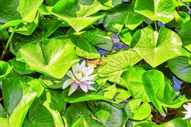 Blossom lotus dans un jardin chinois typique, parc. pékin, chine.
