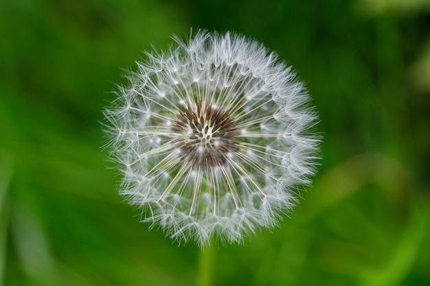 Blowball de fleur de pissenlit blanc.