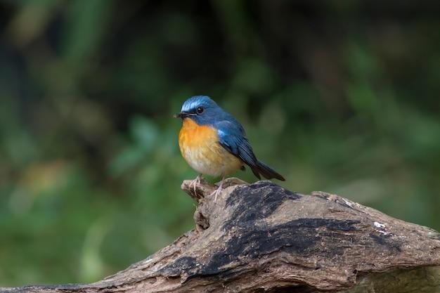 Blue bird, moucherolle bleu de tickell