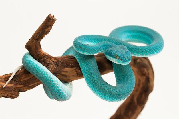 Blue insularis island pit viper serpent aux lèvres blanches sur blanc