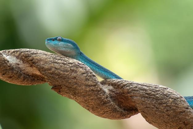 Blue insularis pit viper closeup, serpent venimeux