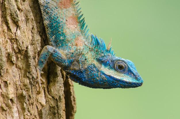 Blue lizard avec de grands yeux dans les détails fermés, comme un petit reptile avec de jolis détails sur sa peinture