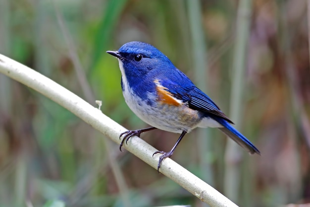 Bluetail de l'himalaya tarsiger rufilatus beaux oiseaux mâles de thaïlande