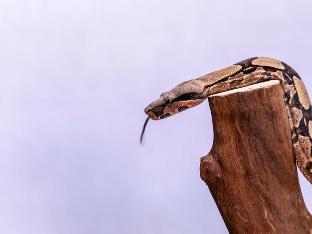 Le boa constrictor (boa constrictor), également appelé boa à queue rouge ou boa commun, est une espèce de gros serpent non venimeux à corps lourd qui est fréquemment gardé et élevé en captivité