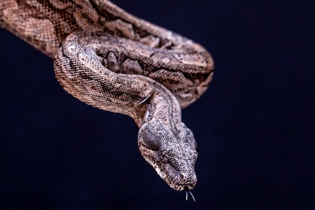 Le boa constrictor est un poisson serpent qui peut atteindre une taille adulte de 2 mètres (boa constrictor amarali) à 4 mètres (boa constrictor constrictor). au brésil, où est le deuxième plus grand serpent.