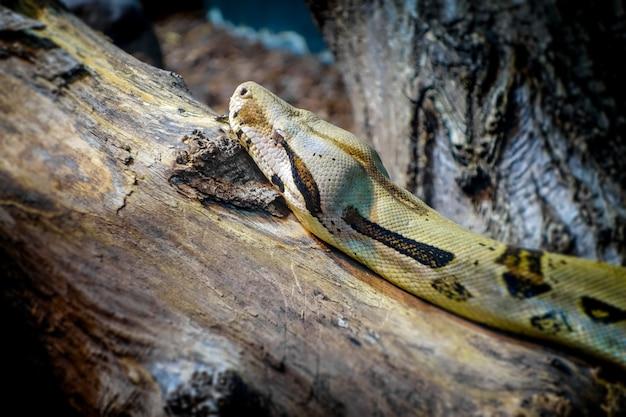 Boa de madagascar sur un tronc d'arbre dans la forêt tropicale