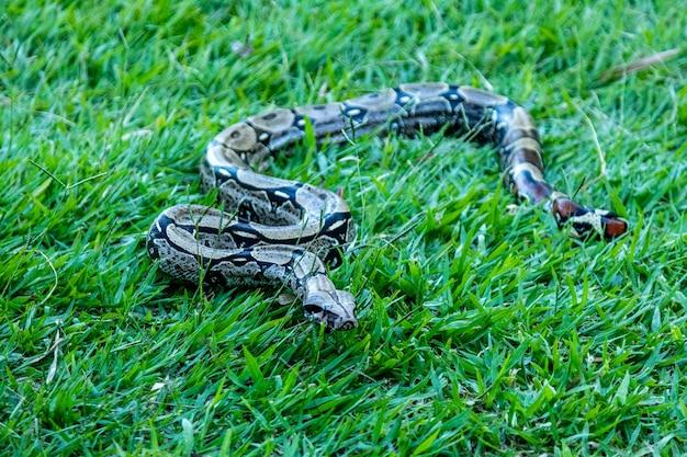Boa se promenant sur la pelouse.