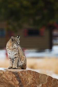 Bobcat de colorado