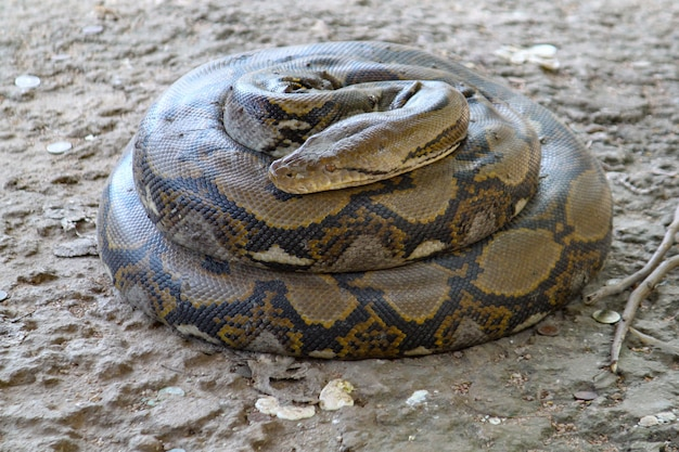 Bobine de serpent boa dans un jardin en thaïlande