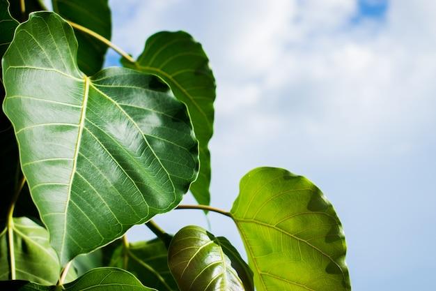 Bodhi ou peepal feuilles avec fond de ciel.