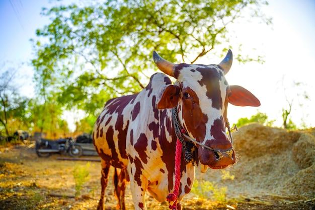 Boeuf dans le domaine de l'agriculture, la vie rurale indienne