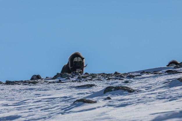 Boeuf musqué dans le parc national de dovrefjell, norvège