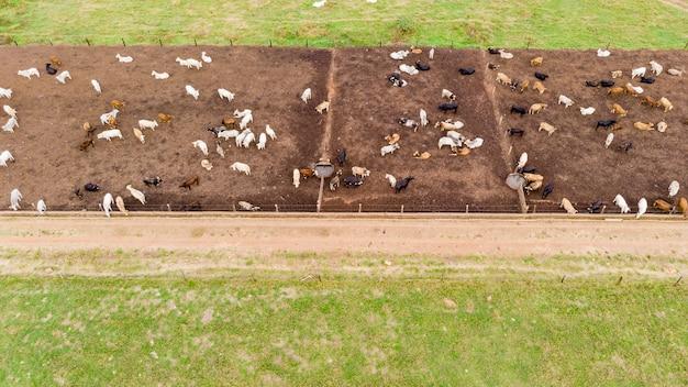 Les boeufs et les vaches dans l'air ont ouvert la grange sur une vue aérienne de champ
