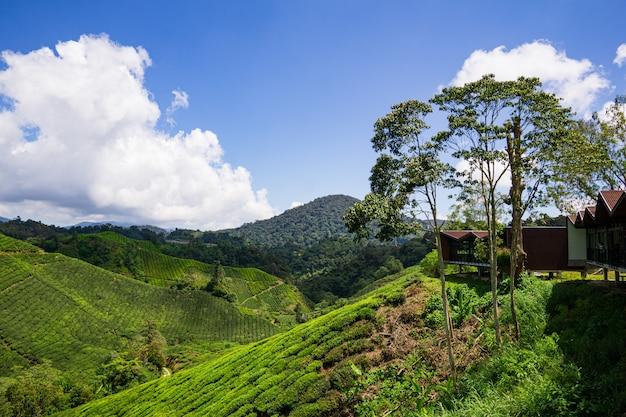 Boh tea plantation cameron highland - splendeur pittoresque avec sa beauté naturelle austère.