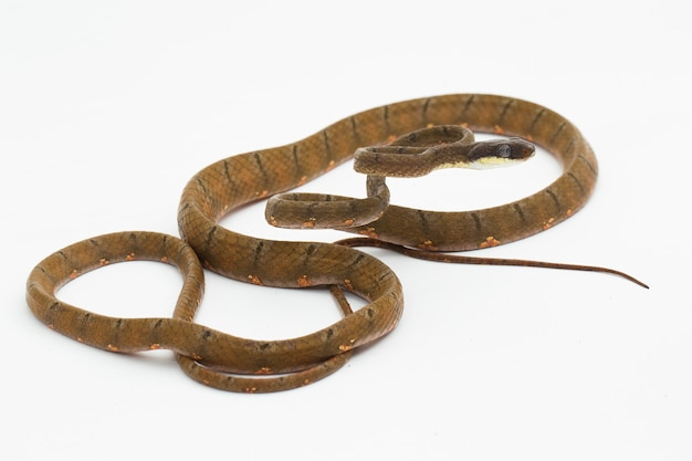 Boiga drapiezii serpent chat tacheté isolé sur fond blanc