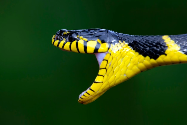 Boiga serpent dendrophila annelé jaune traque ses proies