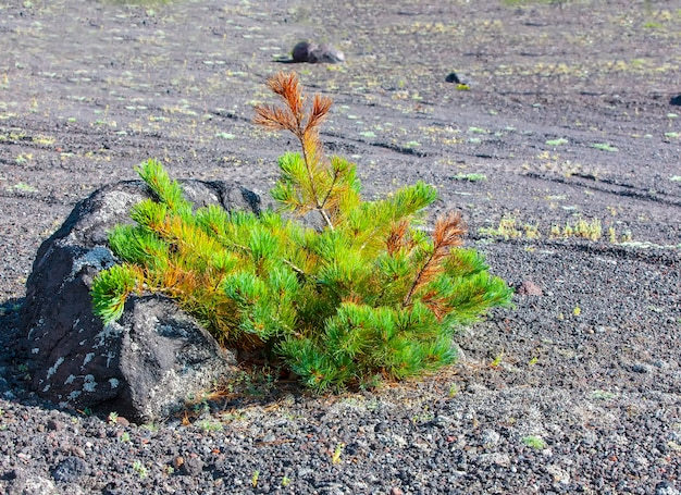 Bois de cèdre vert sur le volcan vilyuchinsky, kamchatka, russie