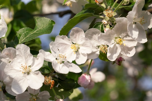 Bois et fleurs blanches de pommiers poussant dans un verger au printemps de l'année