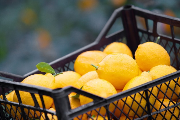 Boîte de citron jaune.