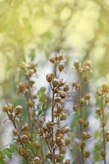 Boîte de graines d'hibiscus en hiver. grappe brune et sèche de graines d'hibiscus. magnifique hibiscus rose recouvert de neige.