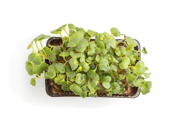 Boîte en plastique avec germes de radis microgreen isolé sur surface blanche