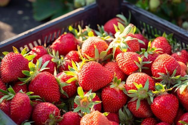 Boîte en plastique pleine de délicieuses fraises mûres juste cueillies à la ferme