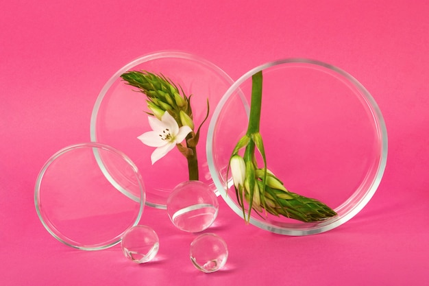 Boîtes de pétri restant sur les fonds roses avec une branche de fleur à l'intérieur. des boules de verre à proximité. concept de la recherche et de la création de produits cosmétiques.
