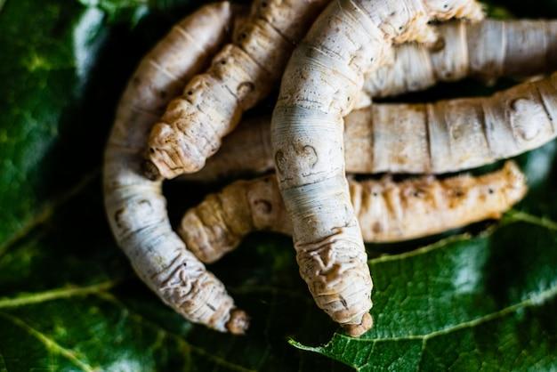 Bombyx mori, groupe de vers à soie vu de dessus mangeant des feuilles de mûrier.
